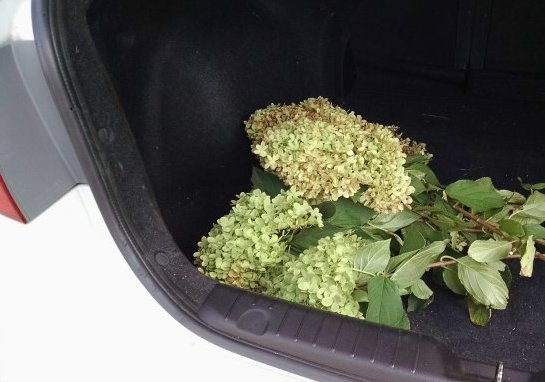 Kidnapped hydrangea cuttings   Vintage Floral Cottage